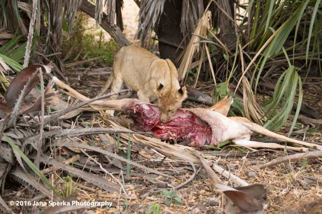 lions-eating_28web