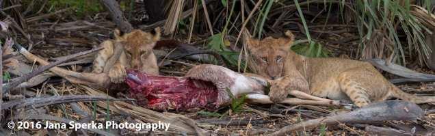 lions-eating_29web