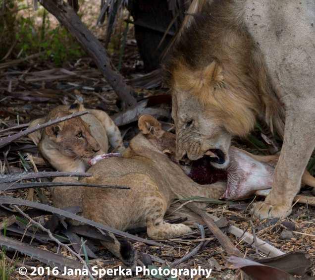 lions-eating_2web