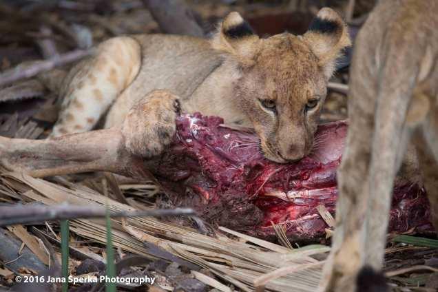 lions-eating_31web