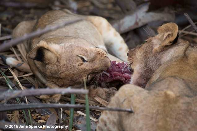 lions-eating_32web
