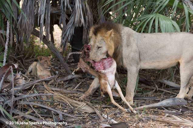 lions-eating_4web
