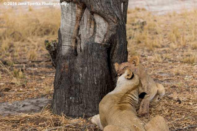 lions-eating_5web