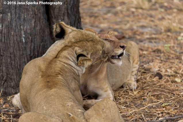 lions-eating_7web