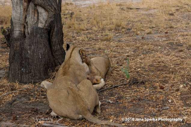 lions-eating_8web