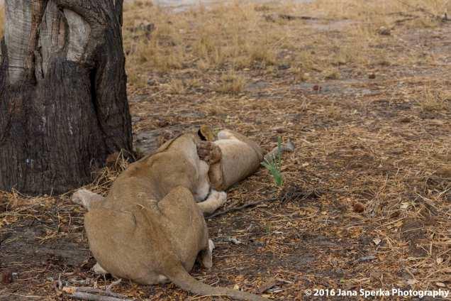 lions-eating_9web