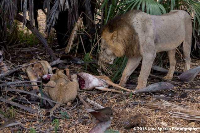 lions-eatingweb