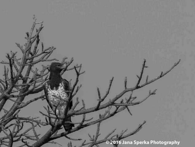martial-eagle-bwweb