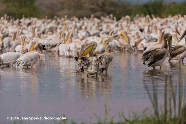 pelicans_1web