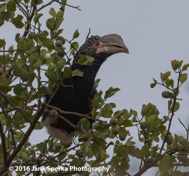 trumpeter-hornbillweb
