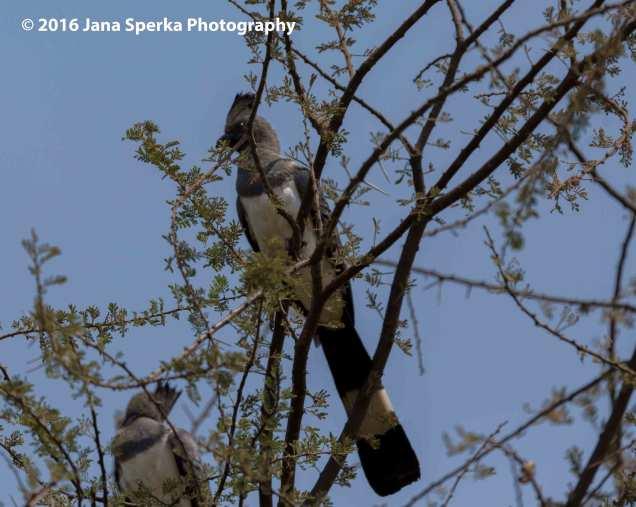 white-bellied-go-away-birdweb