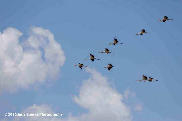 yellow-billed-storks-flyingweb