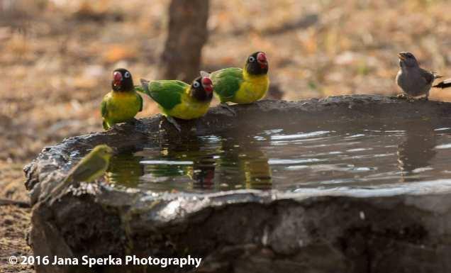 yellow-collared-lovebird-the-3-tenorsweb