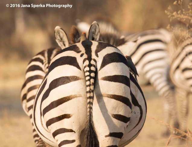 zebra-hitchhikers_1web