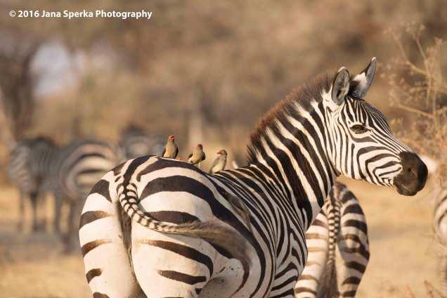 zebra-hitchhikersweb