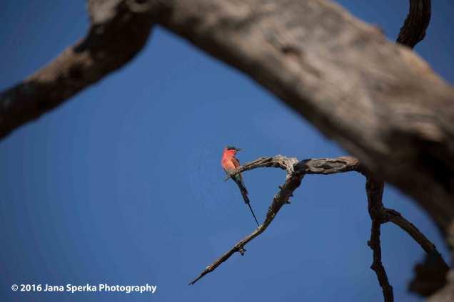 carmine-bee-eaterweb