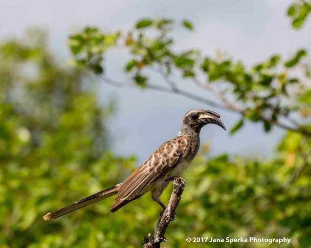 african-grey-hornbillweb
