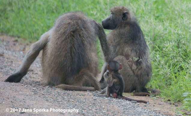 baboon-groomingweb