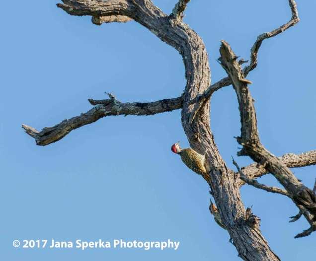 bennetts-woodpeckerweb