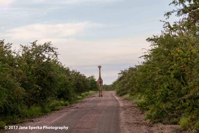 giraffe-stand-offweb