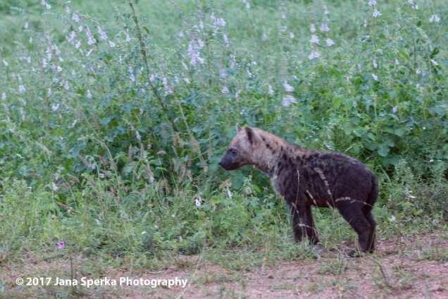 hyena-baby-2web