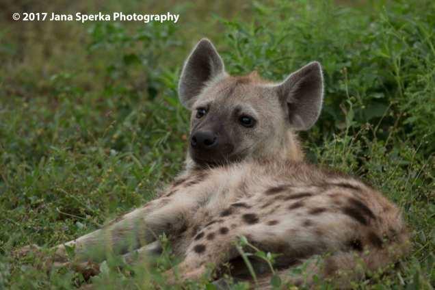 hyena_1web