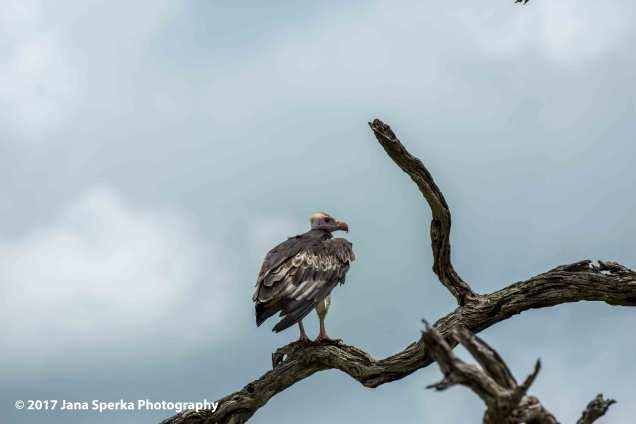 lapet-faced-vultureweb