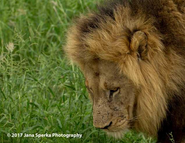 lion-dreaming_1web