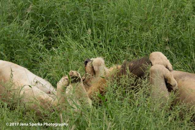 lion-dreamingweb