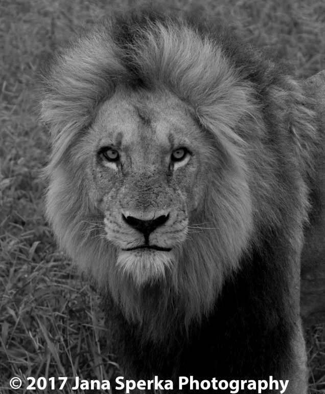 lion-stareweb