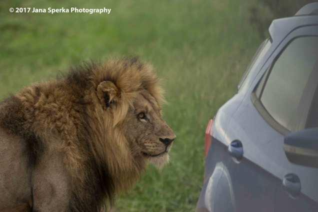 lion-tin-can-carweb
