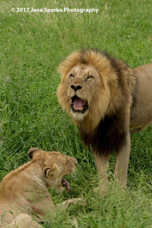lion-yawnweb