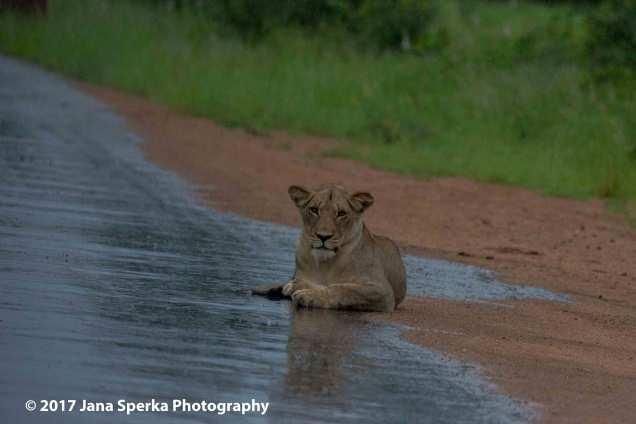 lioness-wetweb