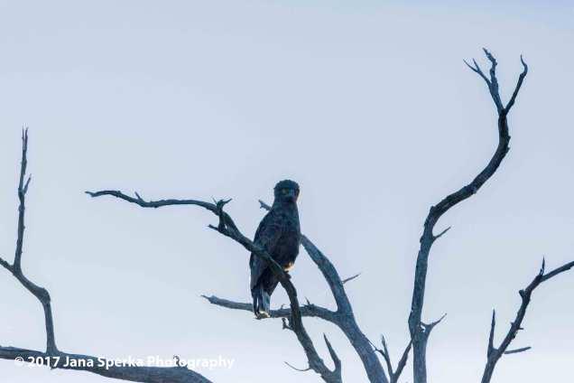 snake-eagle_1web