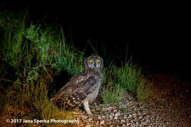 spotted-eagle-owl_1web