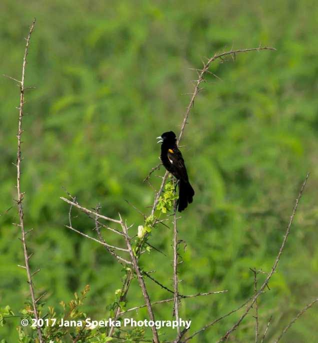 widow-birdweb