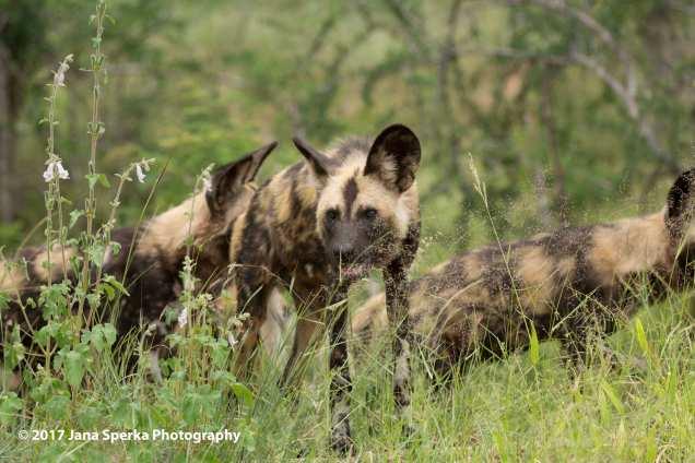 wild-dogs_1web