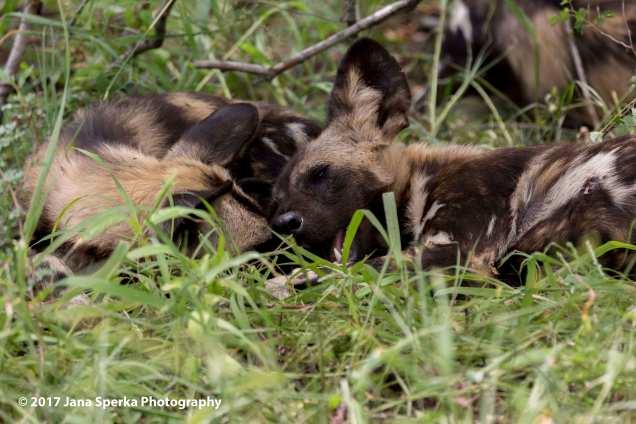wild-dogs_3web
