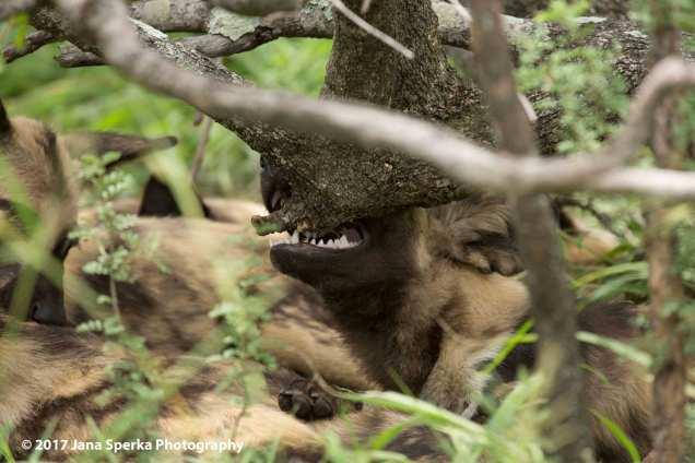 wild-dogs_5web