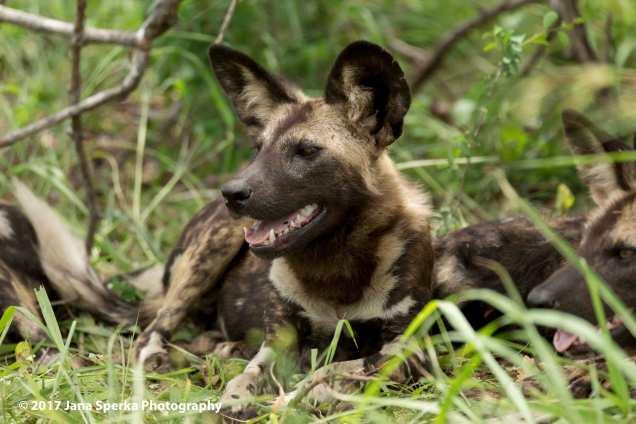 wild-dogs_6web