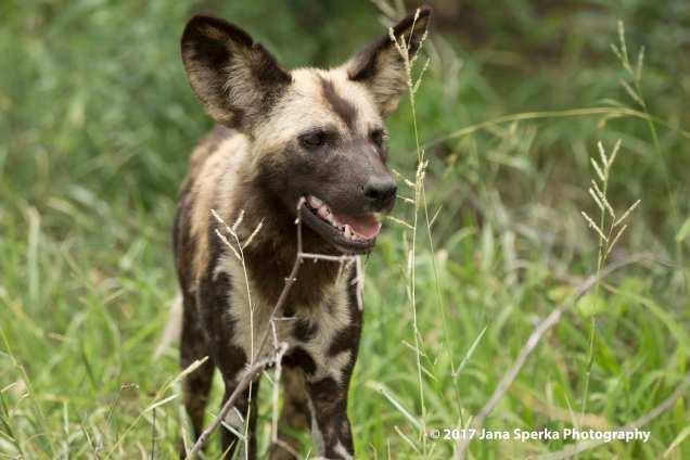 wild-dogs_7web