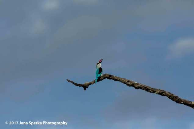 woodland-kingfisher_1web