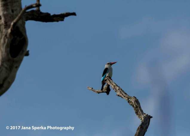 woodland-kingfisherweb