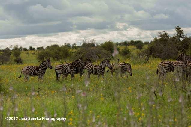 zebra-fieldweb