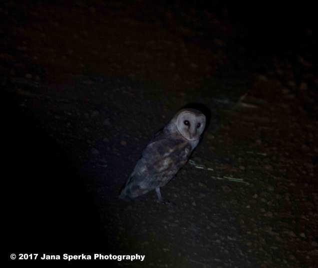 barn-owlweb
