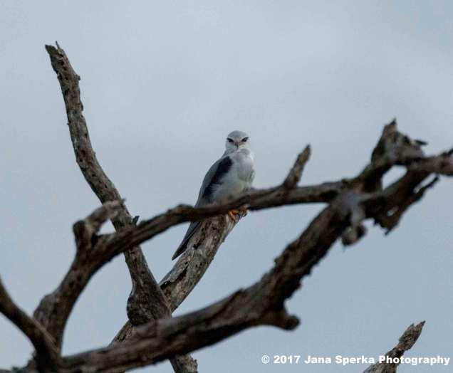 black-shouldered-kiteweb