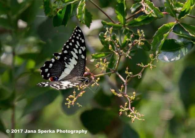 butterfly_1web