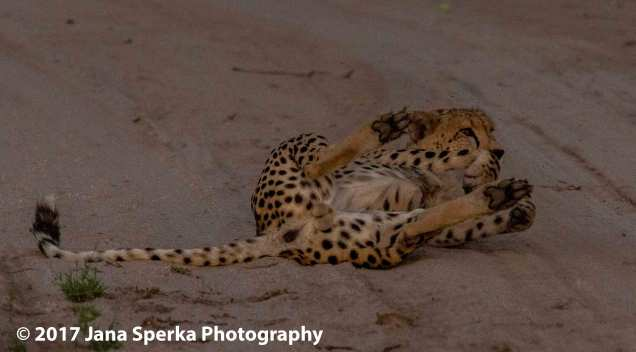 cheetah0web