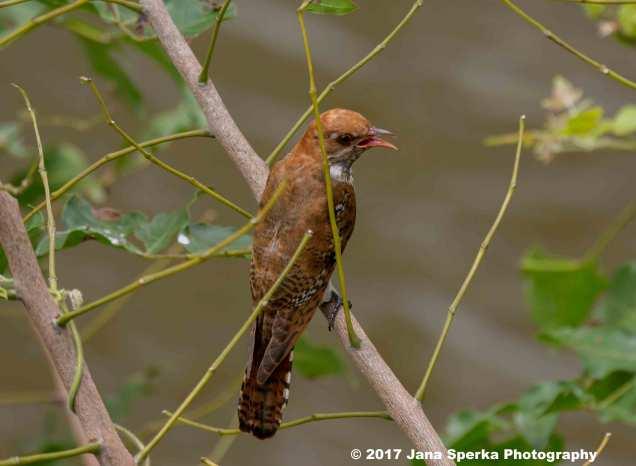 diderick-cuckoo-femaleweb