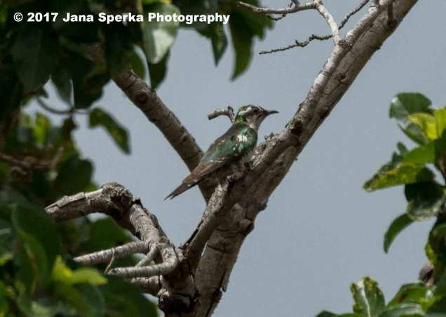 diderick-cuckoo-maleweb